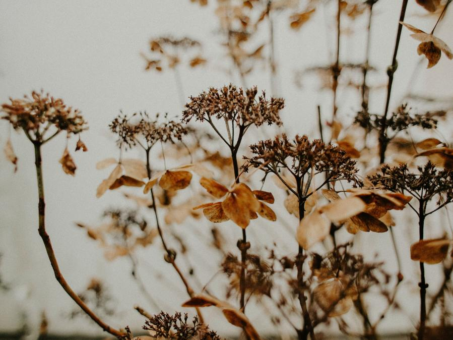 A swath dried flower heads and tan, brittle petals.