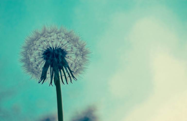 A dandelion blooming against a turquoise sky.